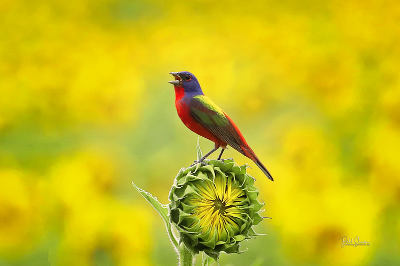 Painted Bunting on Sun Flower Bud