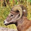 Big Horn Sheep - portrait