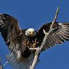Eagle - Arriving Home