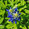 Two-Headed Bluebonnet