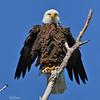Lake Waco Eagle - Some of that serious.