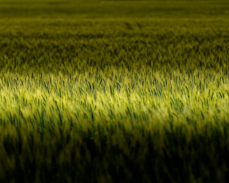 May_Wheat3 8x10