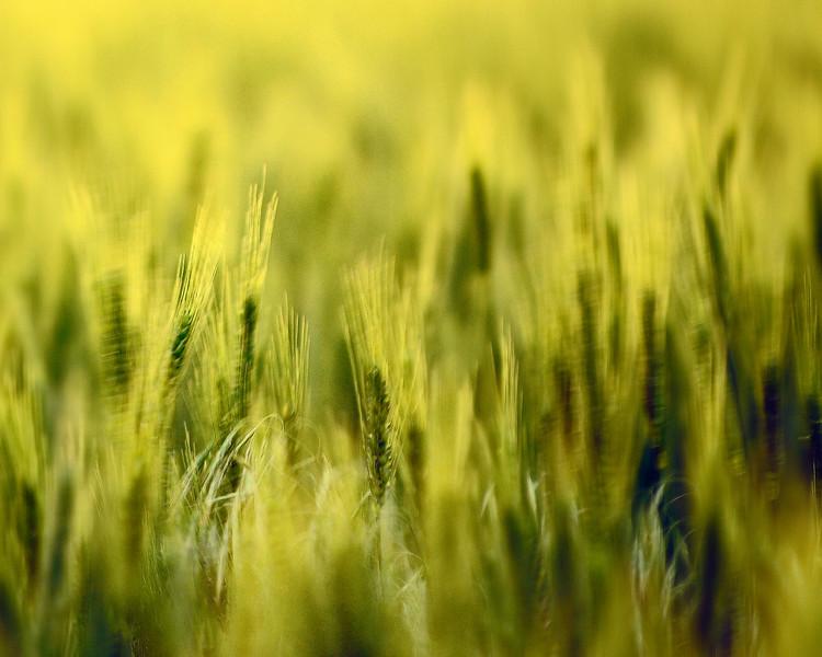 May_Wheat1 8x10