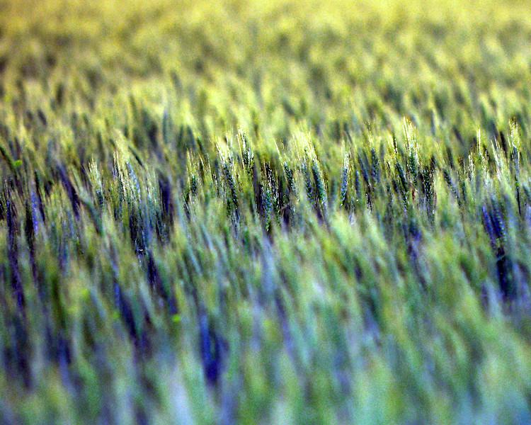 May_Wheat2 8x10