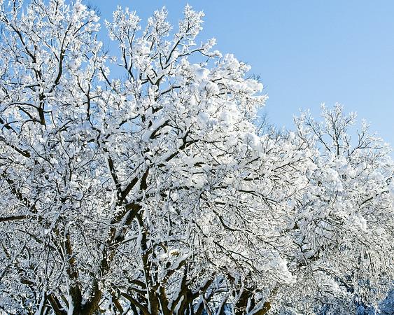 120205 Snow Tree 2