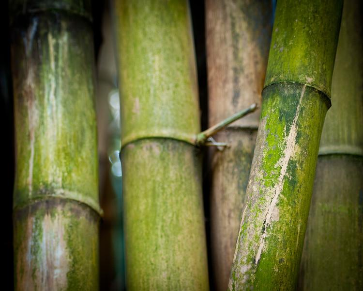 120315 Bamboo 8x10
