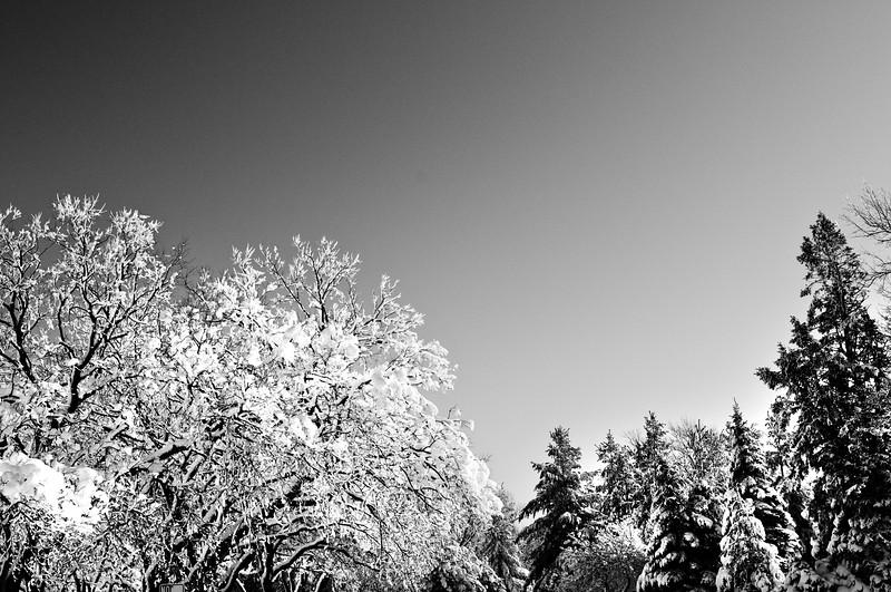 120105 Snow Trees