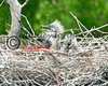 Martin2012-048  heron chicks
