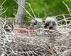 Martin2012-065  heron chicks
