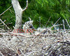Martin2012-152 heron chicks