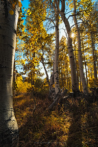Autumn Aspen Sunlight