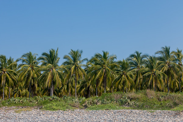 MEXICAN PALM GROVE