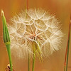 Mountain Dandelion