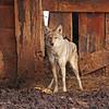 Coyote in Utah Barn