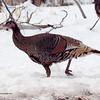Wild Turkey - Mesa Verde, Colorado