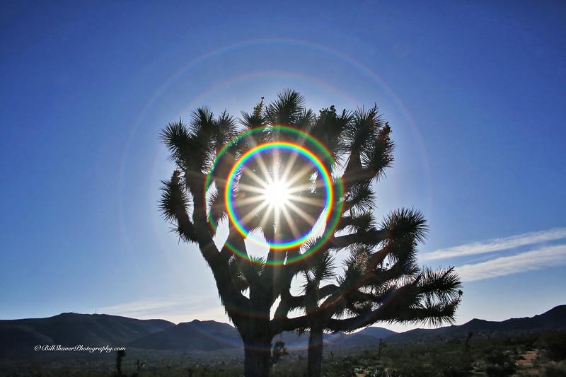 Joshua Tree with a Star Rainbow