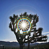 Joshua Tree with a Star Rainbow