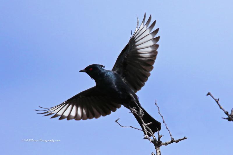 Phainopepla - Silky Flycatcher