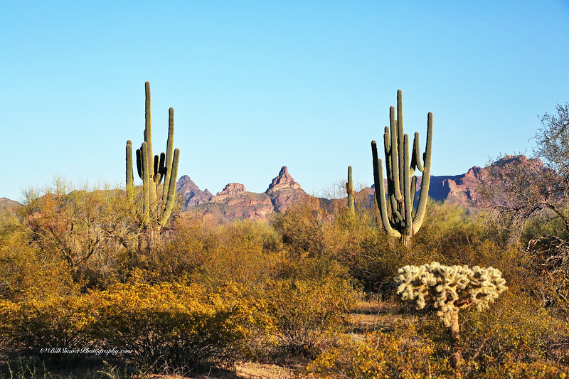 Saguaro Cactus - Organ Pipe National Park