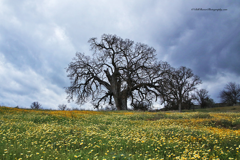 Old Oak in a field of yellow