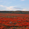 Antelope Valley Poppy Reserve in California.
