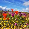 Antelope Valley Poppy Reserve in California.