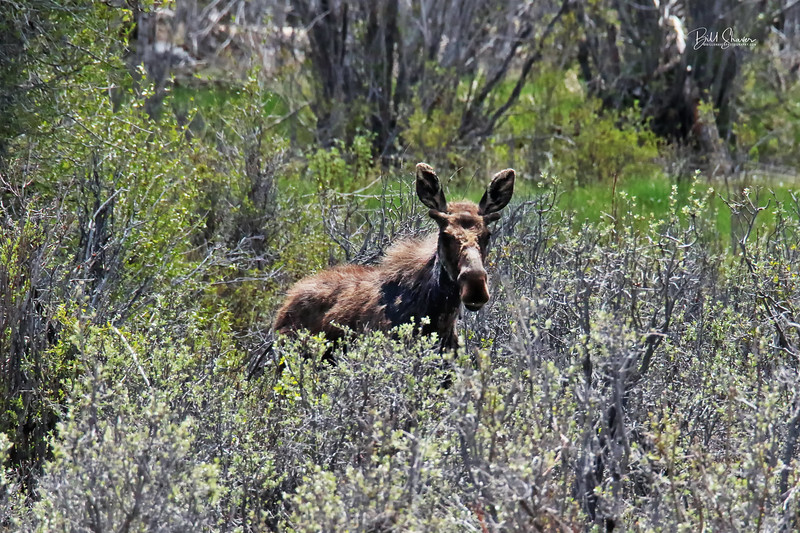 Male Moose at Gros Ventres - Jackson Hole, Wyoming