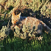 Angry Coyote - Jackson Hole, Wyoming