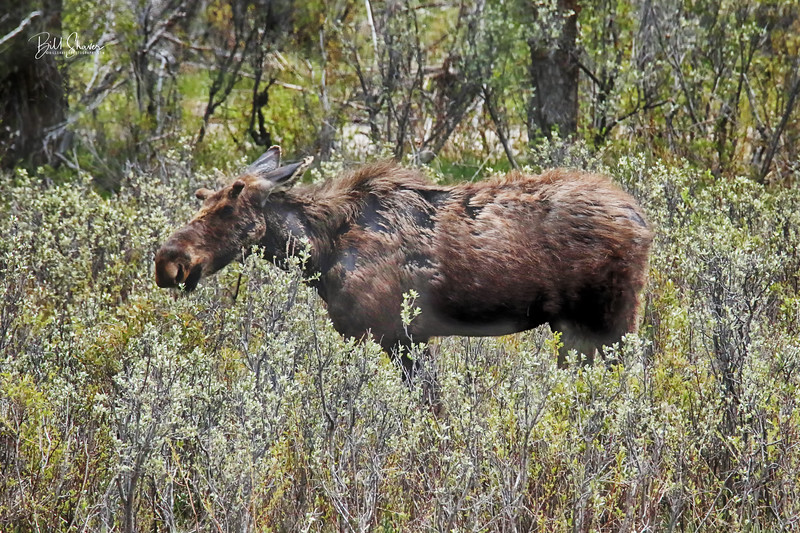 Male Moose at Gros Ventres - Jackson Hole, Wyoming - 2