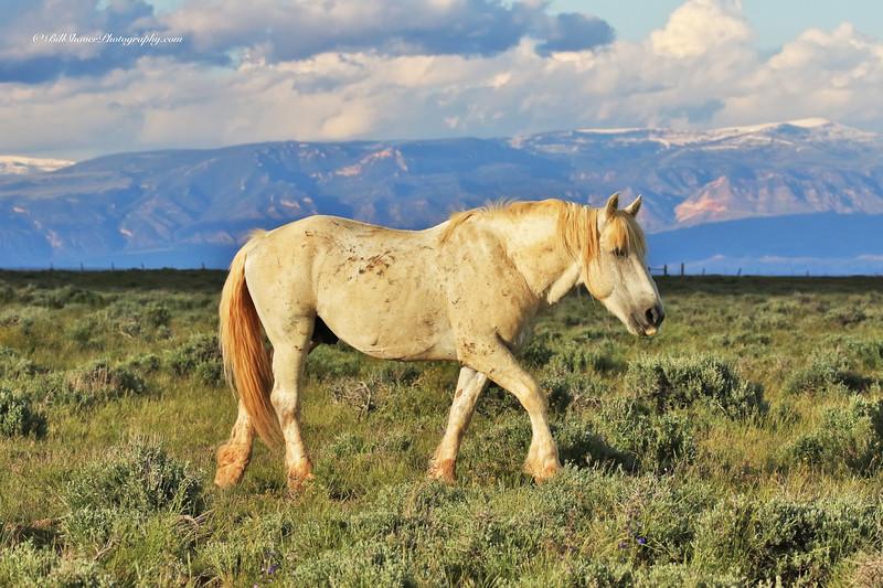 Wild Mustang - Wyomning - 11