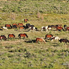 Wild Mustangs - Wyoming - 5
