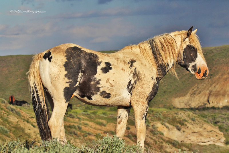 Wild Mustang - Wyoming - 12