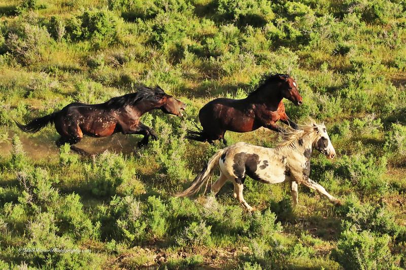 Wild Mustangs - Wyoming  1