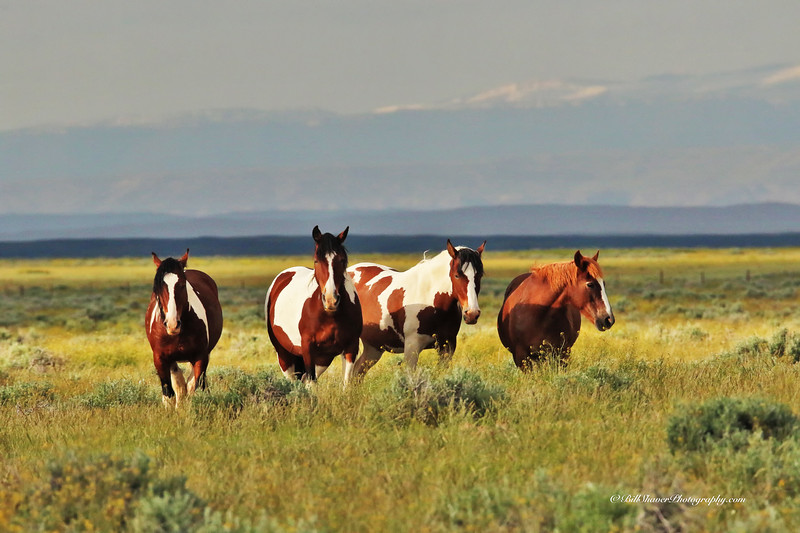 Wild Mustangs - Wyoming - 4