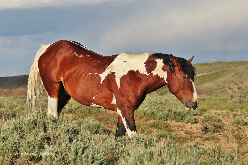Wild Mustangs - Wyoming - 6
