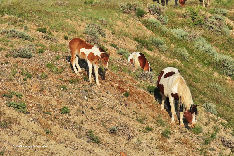 Wild Mustangs - Wyoming - 8