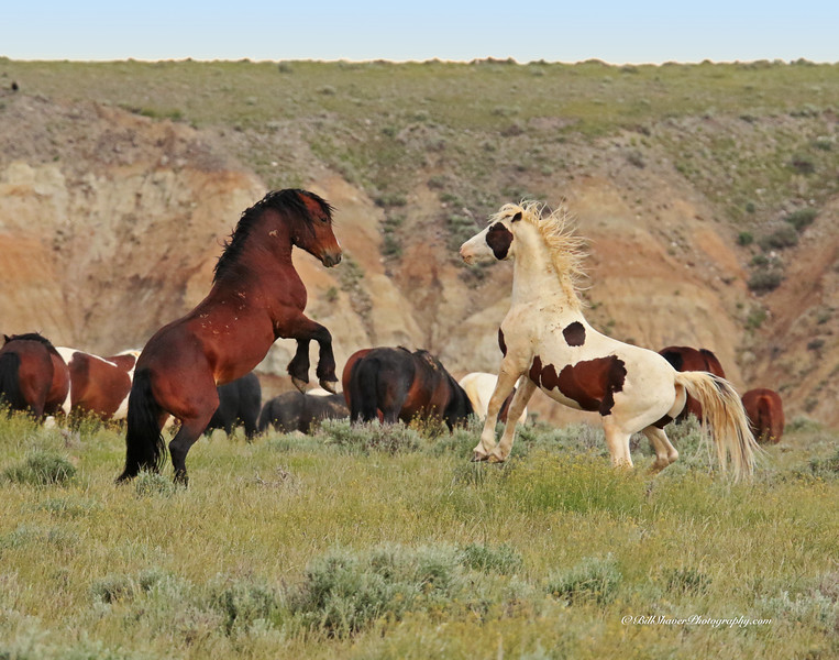 Fighting Mustangs - Wyoming - 13