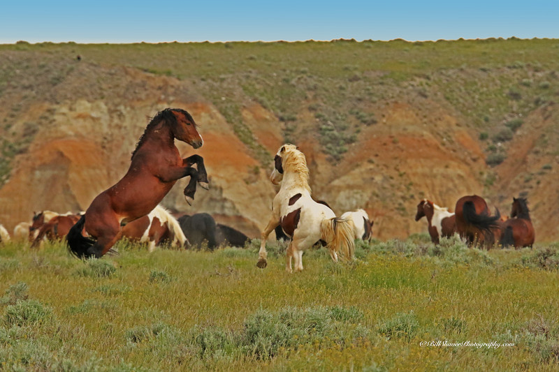 Fighting Mustangs  - Wyoming - 2