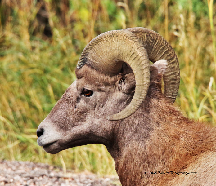 Big Horn Sheep - portrait