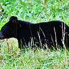 Black Bear (Cub-2) - Cade's Cove - Smokey Mountains