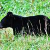Black Bear (Cub-2) - Cade's Cove - Smokey Mountains