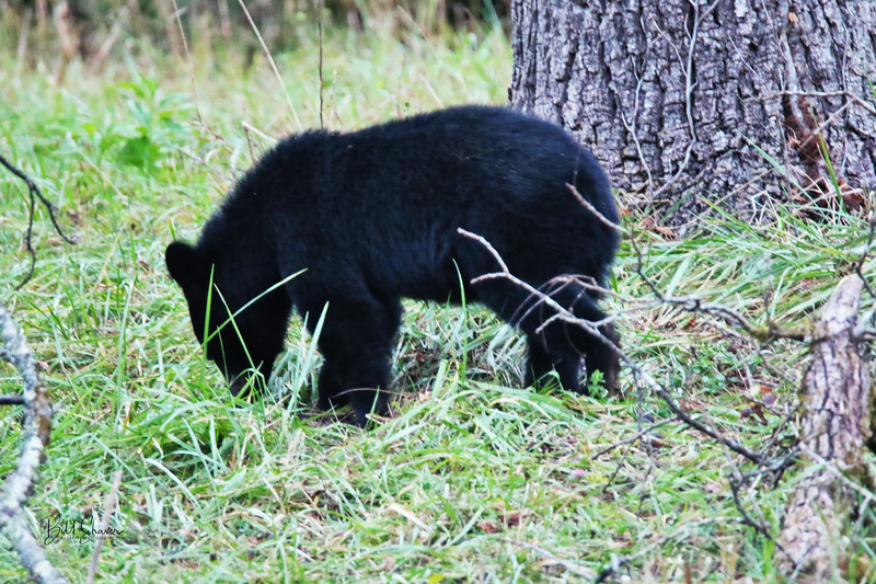Black Bear (Cub-3) - Cade's Cove - Smokey Mountains
