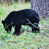 Black Bear (Cub-3) - Cade's Cove - Smokey Mountains