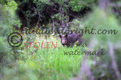 -KRanch610-146 feral hogs