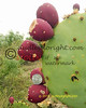 SantoNinoRanch 6-2015-026 prickly pear apples 8x10 lr