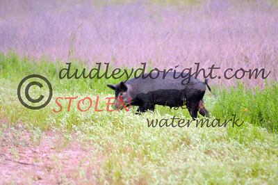 -KRanch610-210 feral hog