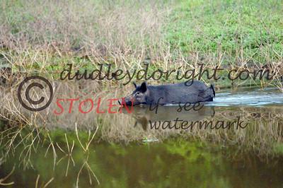 -KRanch610-202 feral hog