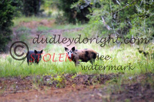 -KRanch610-215 feral hogs