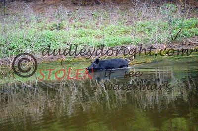 -KRanch610-150 feral hog