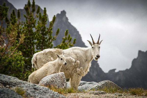 ROCKY MOUNTAIN GOAT, PNW
